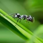 entomophagous
