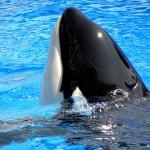 blackfish-marine-mammal-captivity