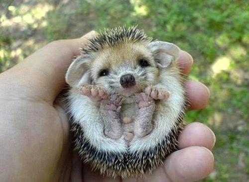 hedgehog-preservation