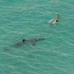 shark-cull