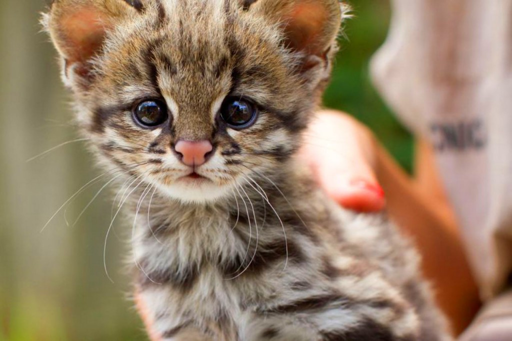 Leopardus-guttulus