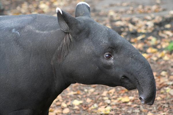Tapirus-Kabomani