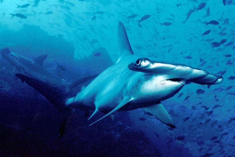 new-species-of-shark-discovered-Carolina-hammerhead-shark-debuts