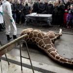 copenhagen_zoo_giraffe