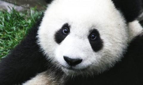 Panda talk deciphered