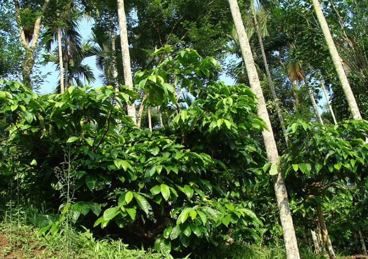 Traditional Coffee Production