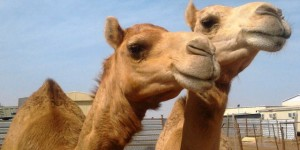 Half the camels in the United Arab Emirates were killed by plastic bags