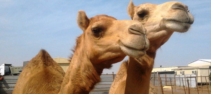 camels-eating-plastic-bags