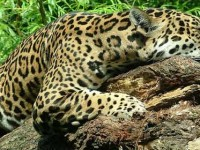 Jaguar to be sent home because he's more interested in food than mating