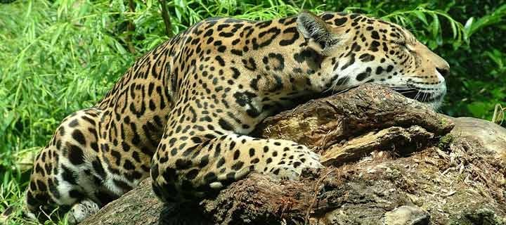 Jaguar to be sent home because he's more interested in food than ...