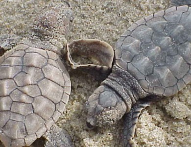 Climate change causing turtles to produce more females