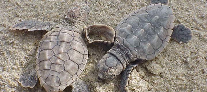 loggerhead-turtle-climate-change
