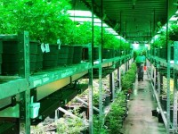 Cherry company busted for New York's biggest ever marijuana farm