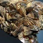 quagga-mussel