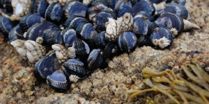 We'll have toxic mussels thanks to climate change