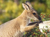 Warning! There's a wallaby on the loose!