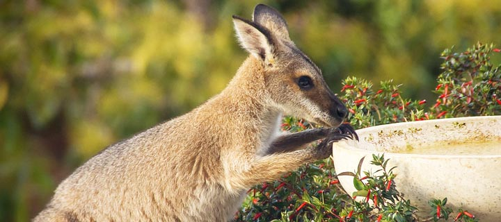 wallaby on the loose Gloucestershire