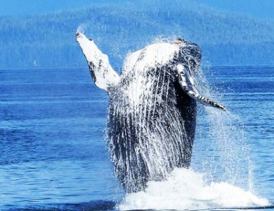 Whale oil to fuel whaling ships?