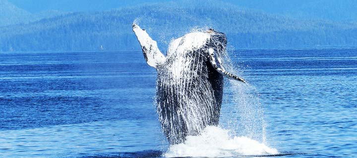 whale oil to fuel whaling ships